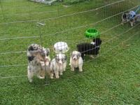 i have a litter of akc reg aussie pups .these babies