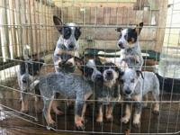 Rehoming 6 puppies: 5 girls and 1 boy. AKC Australian