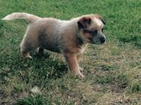 red male AKC Australian Cattle Dog puppy available july