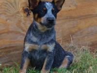 AKC BLUE Australian Cattle Dog Puppies. We have a few