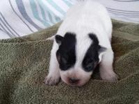 We have blue Australian Cattle Dog puppies, both male