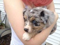Very sweet and outgoing 12 week old female AKC red