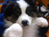 . Black tri male Australian shepherd. Hips, eyes, and