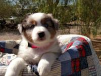 AKC registered Australian Shepherds Puppies Small