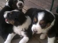Adorable blk tri males, born May 29th, avail end of