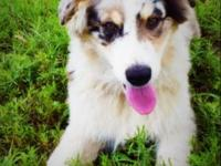 8 month old blue merle standard male. Comes with full