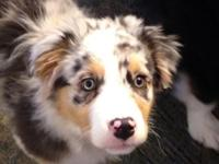 Meet Brooklyn a playful little aussie and incredibly