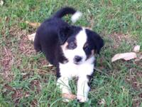 AUSTRALIAN SHEPHERD - BLACK TRI FEMALE PUPPY Adorable
