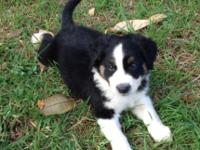 AUSTRALIAN SHEPHERD - BLACK TRI MALE PUPPY Very