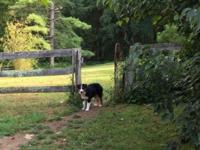 6 month old AKC Australian shepherd, male, black tri,