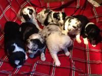 AKC Registered Australian Shepherd Puppies, Absolutely