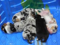 Gorgeous australian shepherd young puppies! Born Oct