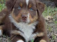 I have a beautiful Full- size Australian Shepherd