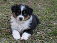 I have beautiful AKC Full- size Australian Shepherd