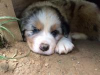 I have 5 Australian Shepherd puppies. Two Blue Merles