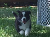 Akc australian shepherd black tri females well