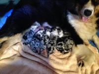 AUSSIE PUPS ! Born October 1, 2015. Blue merles and
