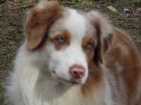 "This is ""Frodo"". He is a Red Merle with Bright Blue"