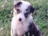 Blue Merle and black tris. Sire to the litter is