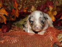 We have a beautiful litter of AKC Aussie puppies.