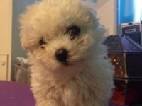 Little 4.6 pound. unaltered Bichon Frise girl