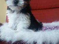 There are two teacup Parti Yorkshire Terrier males and