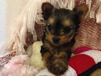 Beautiful child doll face Yorkie! He has a beautiful