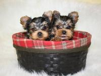 I have 2 AKC Male Yorkies for sale $500.00 cash. Thay