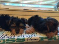 AKC Babyface Yorkie puppies I have a male and females