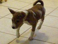 Adorable AKC Basenji female puppy from Champion