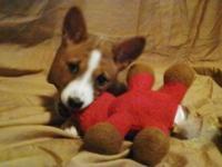 AKC Basenji Puppies (Barkless sight and scent hounds).