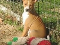 AKC registered basenji boys, dogs and ladies. All moms