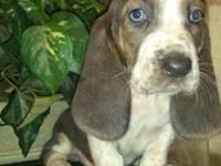 I have 8 beautiful Rare colored Basset hound young
