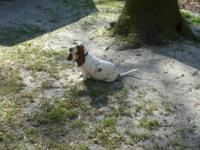 AKC RED/WHITE BASSET HOUND FEMALE FOR SALE SHE IS