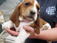AKC Basset Hound female puppies, We have 1 mahogany and