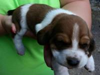 Only 3 female basset hounds left.. 2 weeks old in