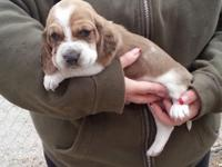 Our last available AKC Basset Hound young puppy ... Its