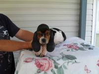 AKC Tri Color Basset Hound Puppies,  Born May
