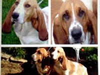 I have a beautiful litter of registered AKC Basset