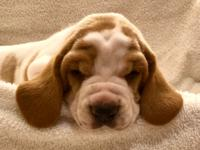 AKC Basset Hound Puppy.  So cute and sweet.  Wormed,