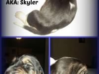 AKC basset hound pup's 2wks old accepting deposit's