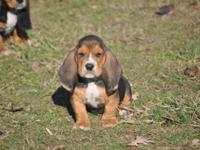 AKC Basset Hound child! All set for his new house. He