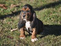 AKC Basset Hound GIRL. She was Born October 7th and she