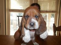 We have a litters of basset hound pups 3 tri males and