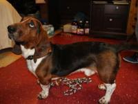 Male in-tact akc purebred bassett hound. Born 01-01-14.