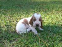 I have a litter of AKC registered Bassett hound babies