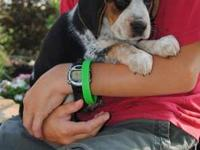 Bobby is a beagle from a litter of seven tri-colored