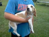 AKC Beagle male lemon puppy, 14 wks old. Very sweet and