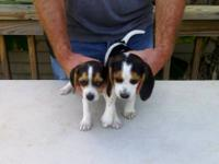 AKC registered Beagle male puppies. They are 9 weeks
