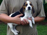 AKC registered Beagle male puppy. He is 12 weeks old.